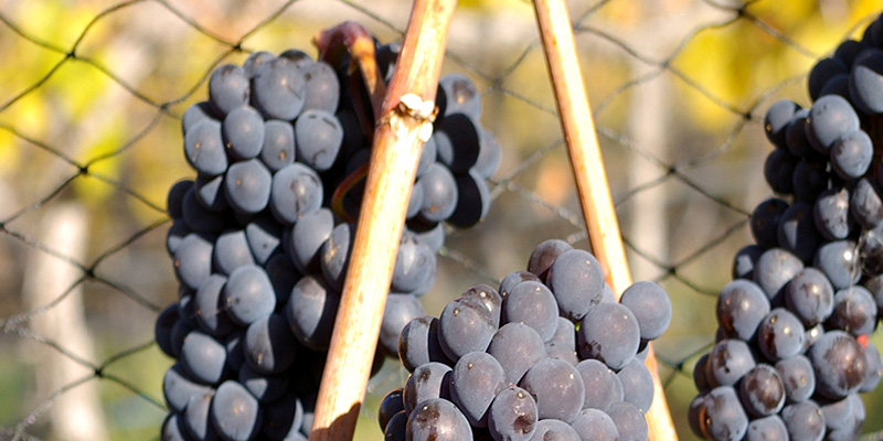 Foxtrot_Vineyards_Viticulture1